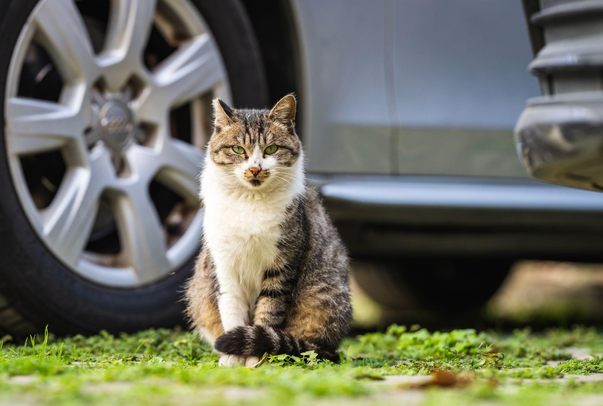 μια γάτα κοιτάζει ευθεία μπροστά, πίσω της φαίνεται ρόδα αυτοκινήτου