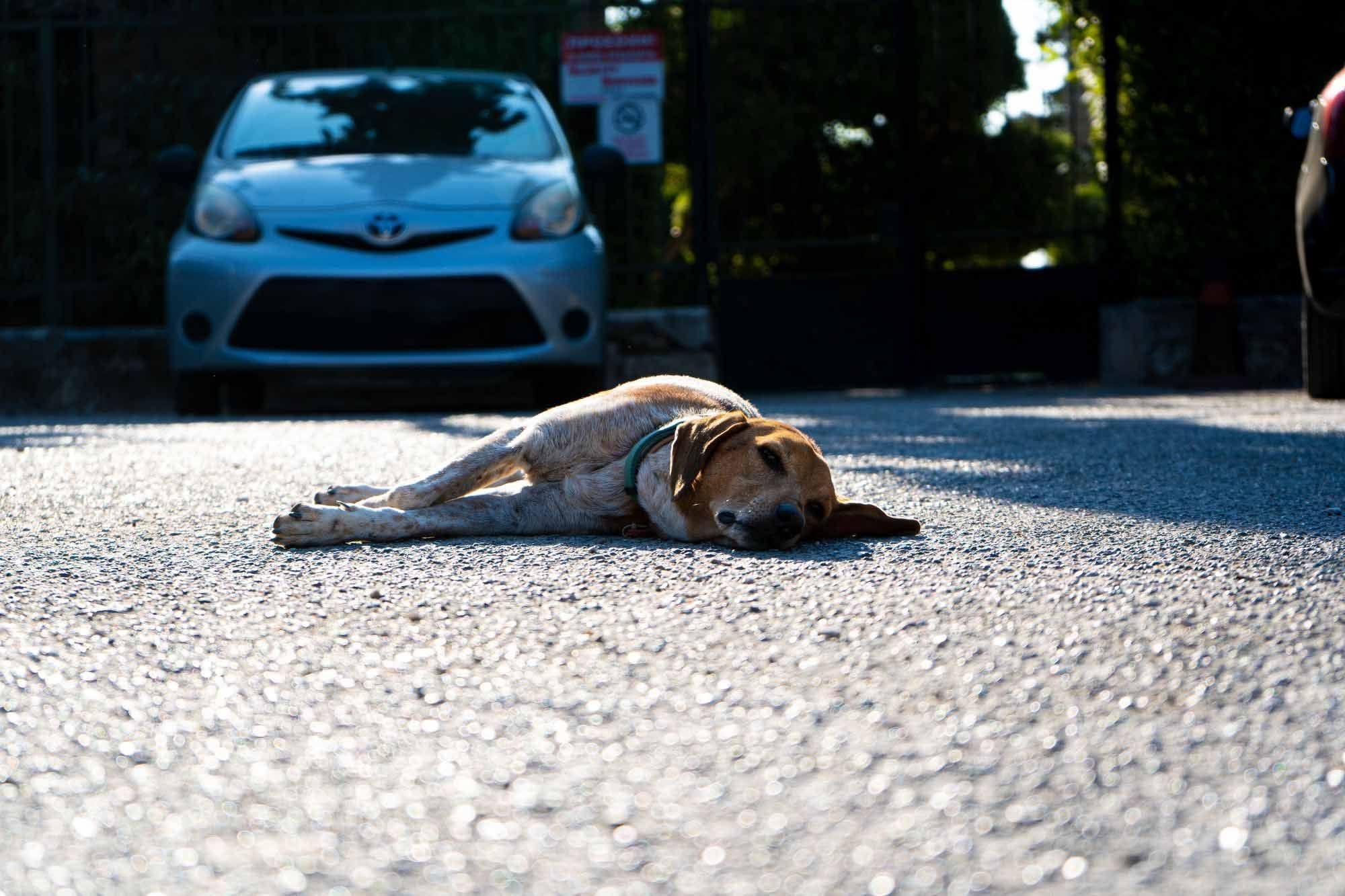 ξαπλωμενο σκυλί στον δρόμο και από πίσω του φαίνεται ένα αυτοκίνητο
